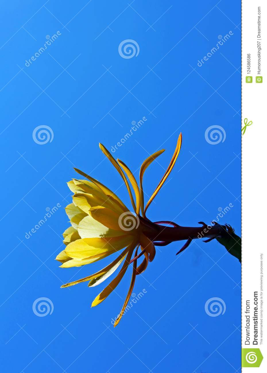 Yellow flower of the night blooming cereus stock photo image of download yellow flower of the night blooming cereus stock photo image of short mightylinksfo