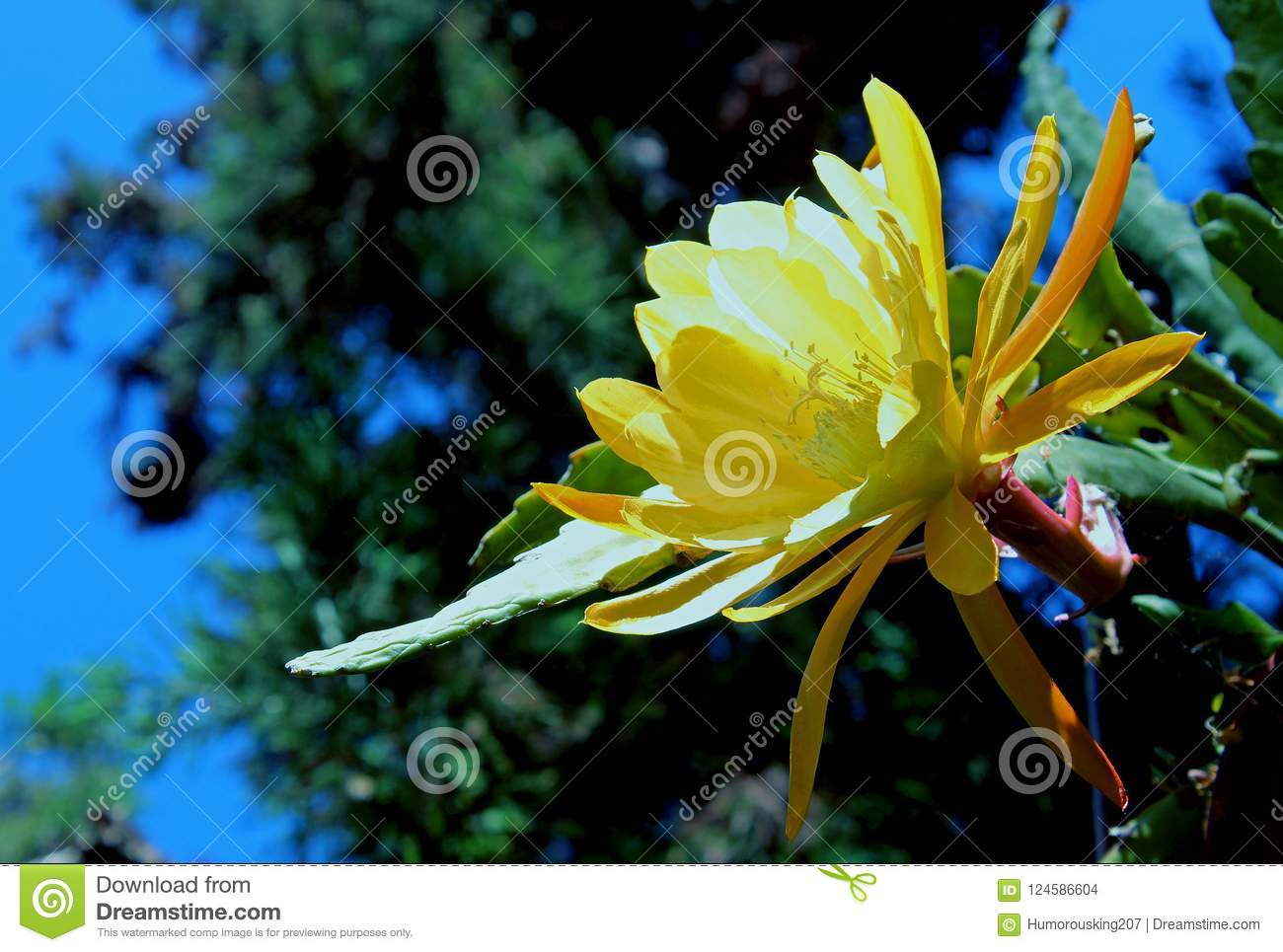 Yellow flower of the night blooming cereus stock photo image of download yellow flower of the night blooming cereus stock photo image of princess mightylinksfo