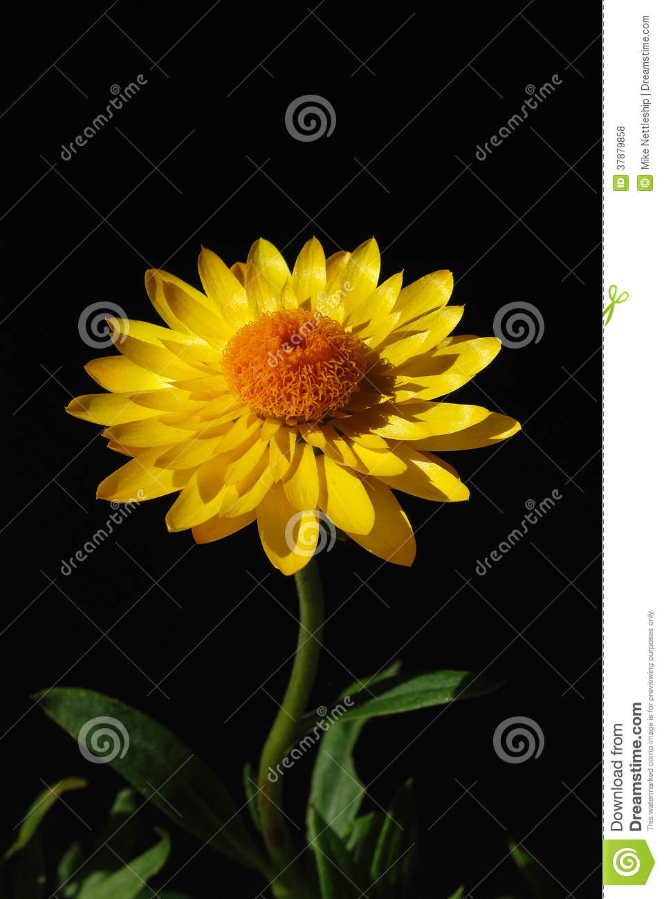 Yellow Flower With Orange Centre Stock Photo Image Of Pollen