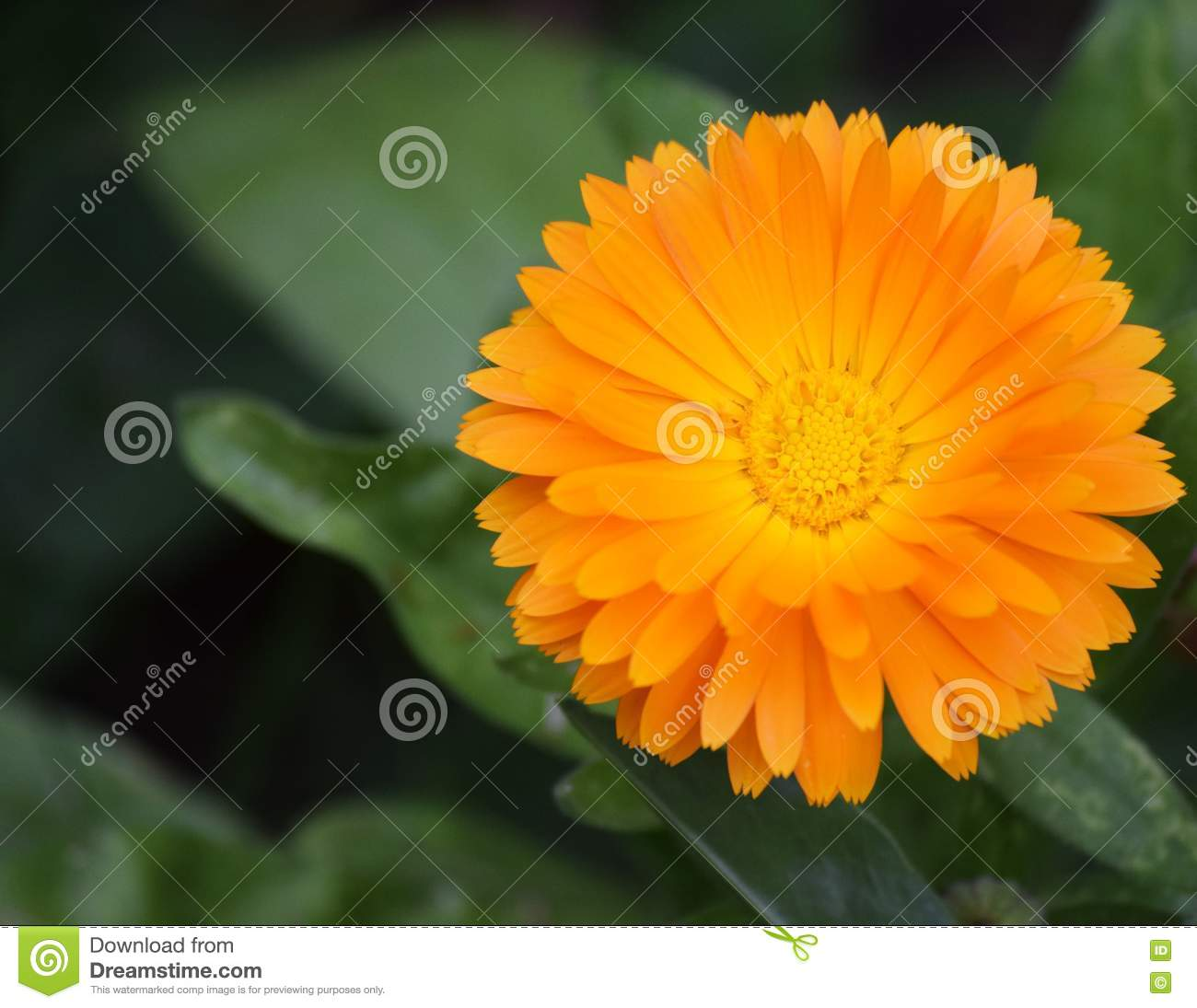 Yellow Flower Stock Image Image Of Middle Long Center 79174779