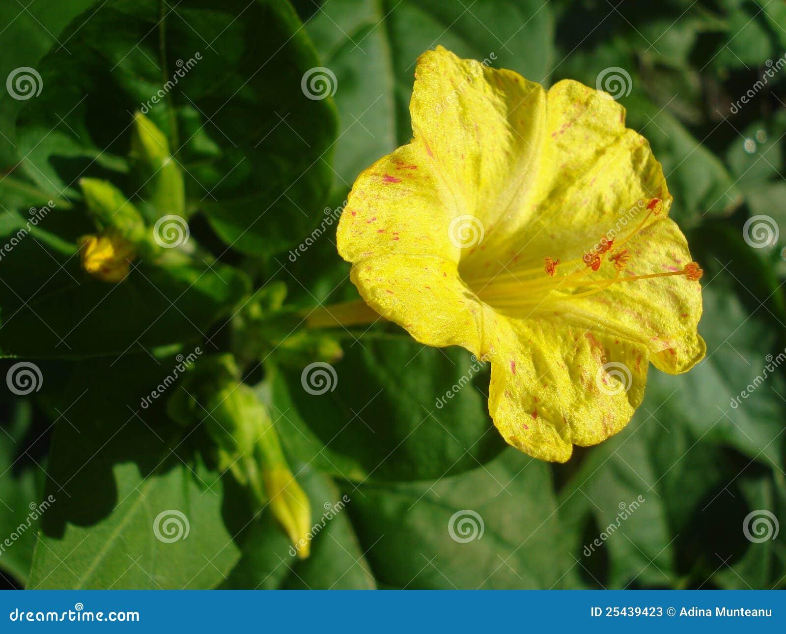 Yellow flower with orange stamens stock image image of blossom yellow flower with orange stamens mightylinksfo