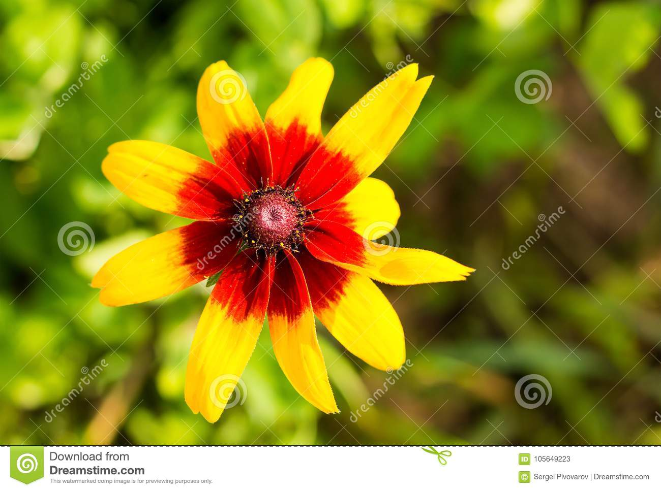 Yellow flower red center long petals plant rudbeckia stock image yellow flower red center long petals plant rudbeckia mightylinksfo