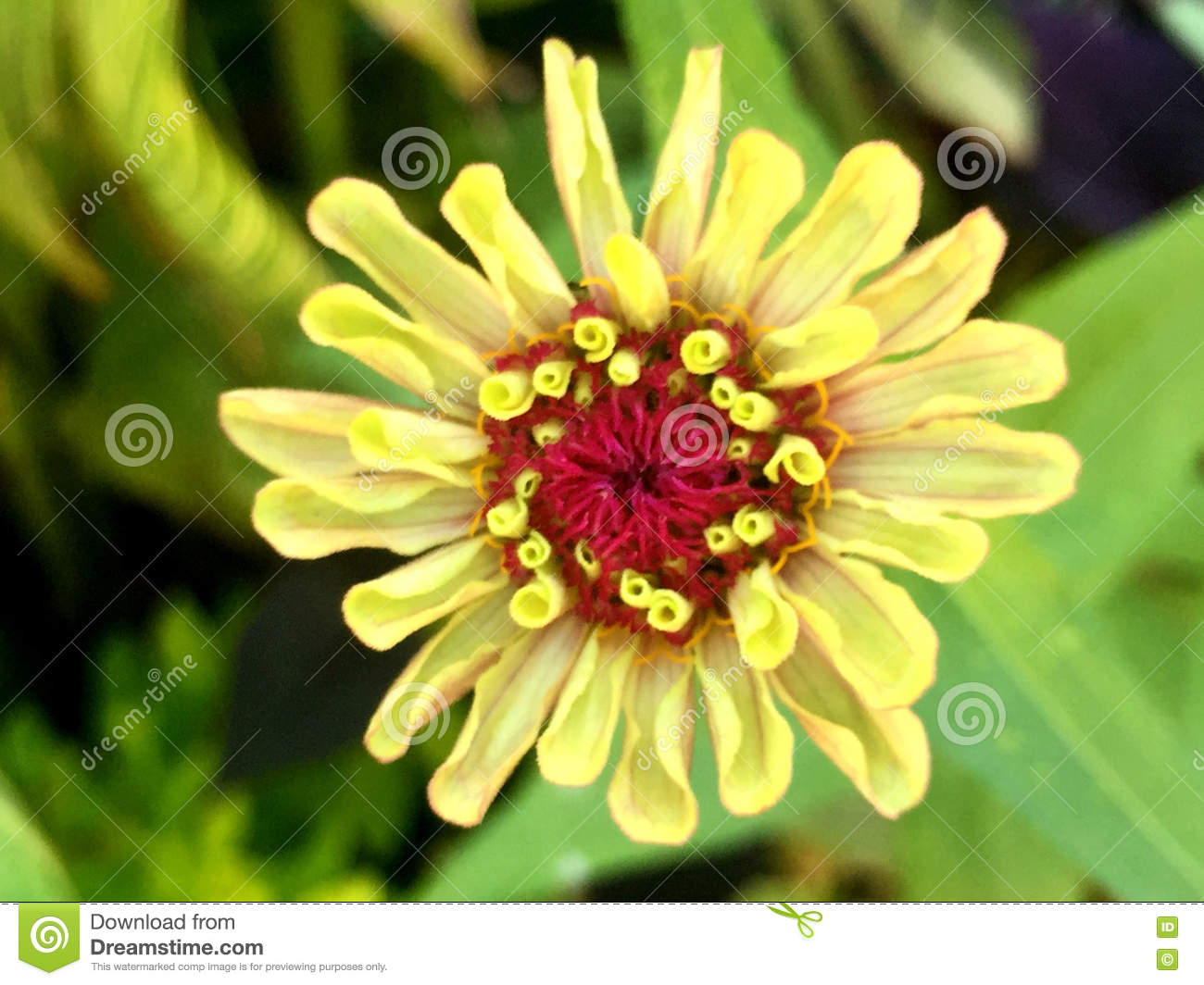 Yellow Flower With Red Center Stock Image Image Of Head