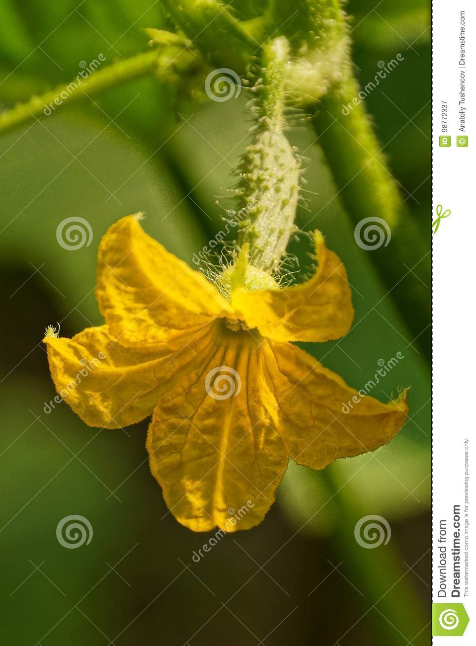 A Yellow Flower And A Small Cucumber On A Stalk In The Garden Stock