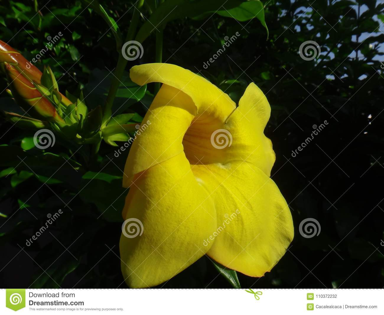 Yellow Flower Of The Species Allamanda Cathartica Stock Photo