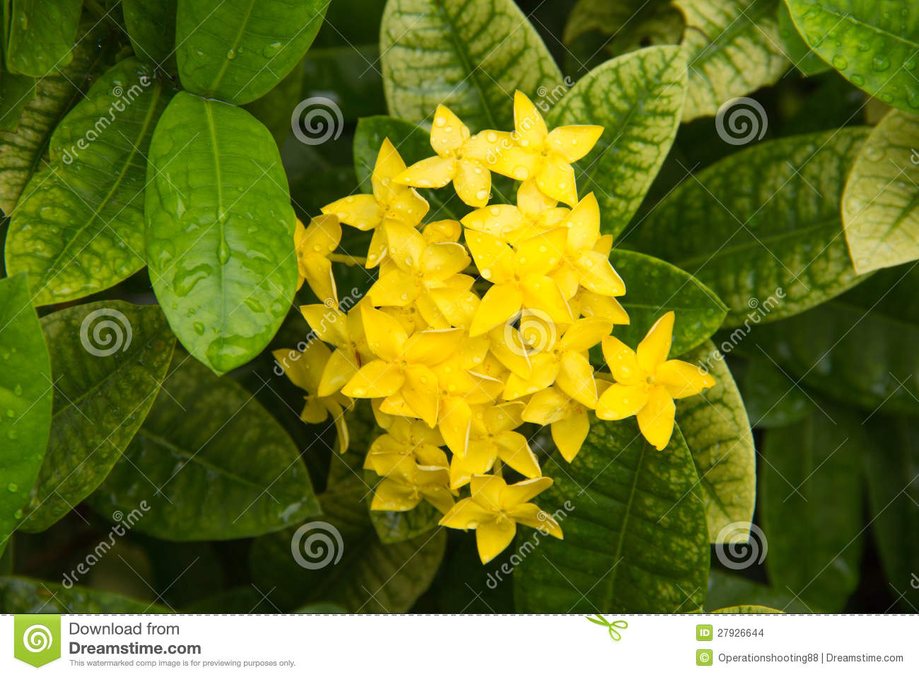 Yellow flower spike stock images image 27926644 for Plant with tall spikes of yellow flowers