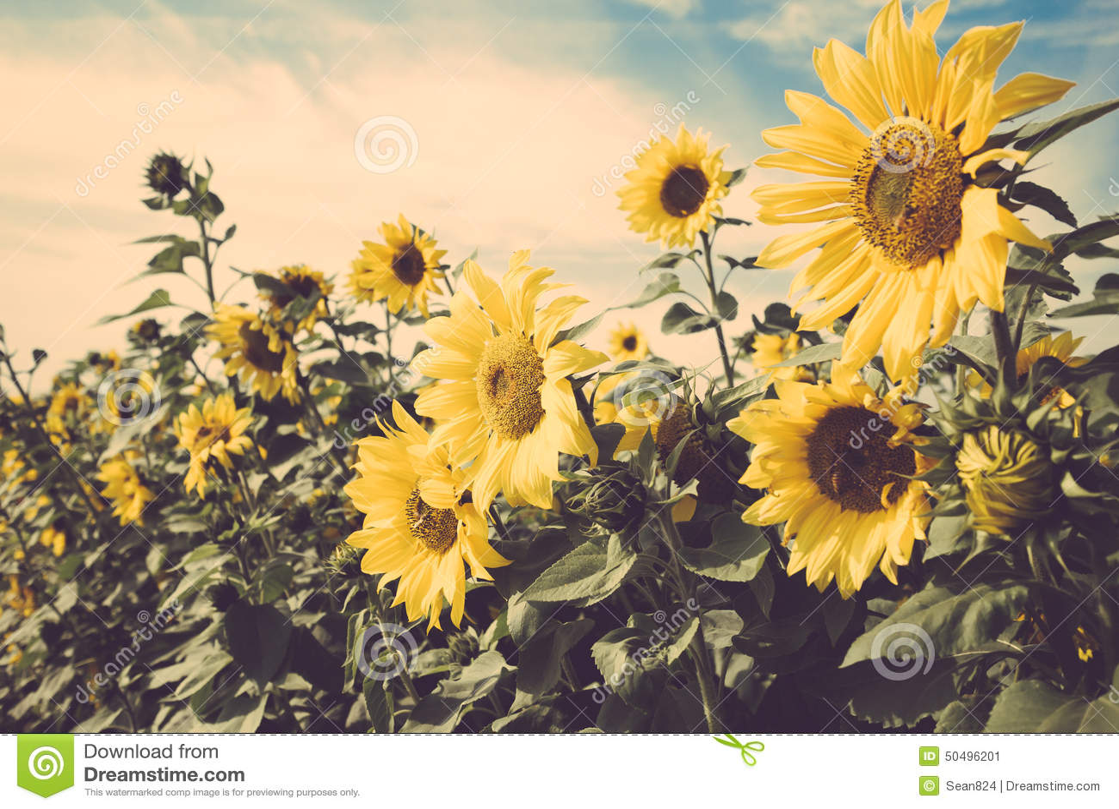 Sunflower Wallpaper Sunflower Wallpaper Vintage