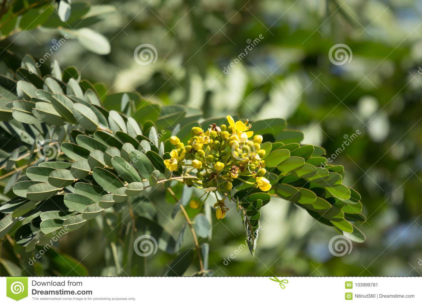Yellow flower of thai copper pod or cassod tree stock image image download yellow flower of thai copper pod or cassod tree stock image image of background mightylinksfo