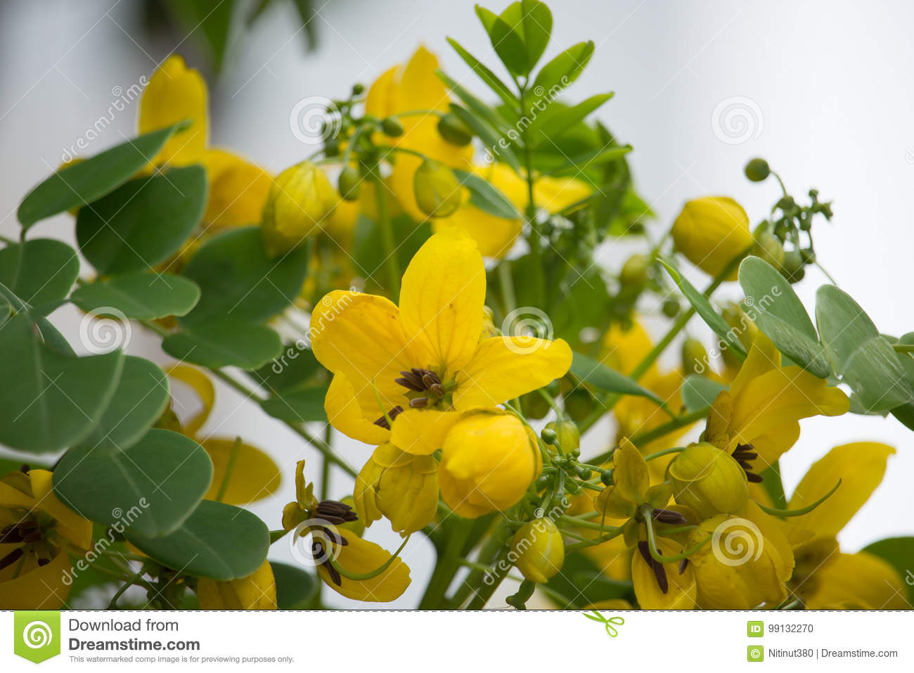 Yellow flower of thai copper pod or cassod tree stock photo image download yellow flower of thai copper pod or cassod tree stock photo image of herbs mightylinksfo