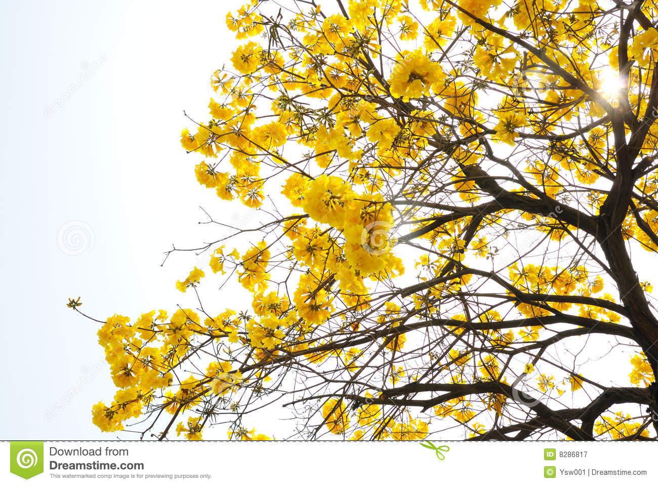 Yellow flower tree stock image image of comfort nature 8286817 mightylinksfo Image collections
