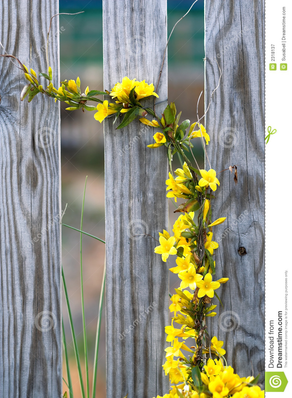 Yellow flower vine stock image image of yellow growing 2318137 yellow flower vine mightylinksfo