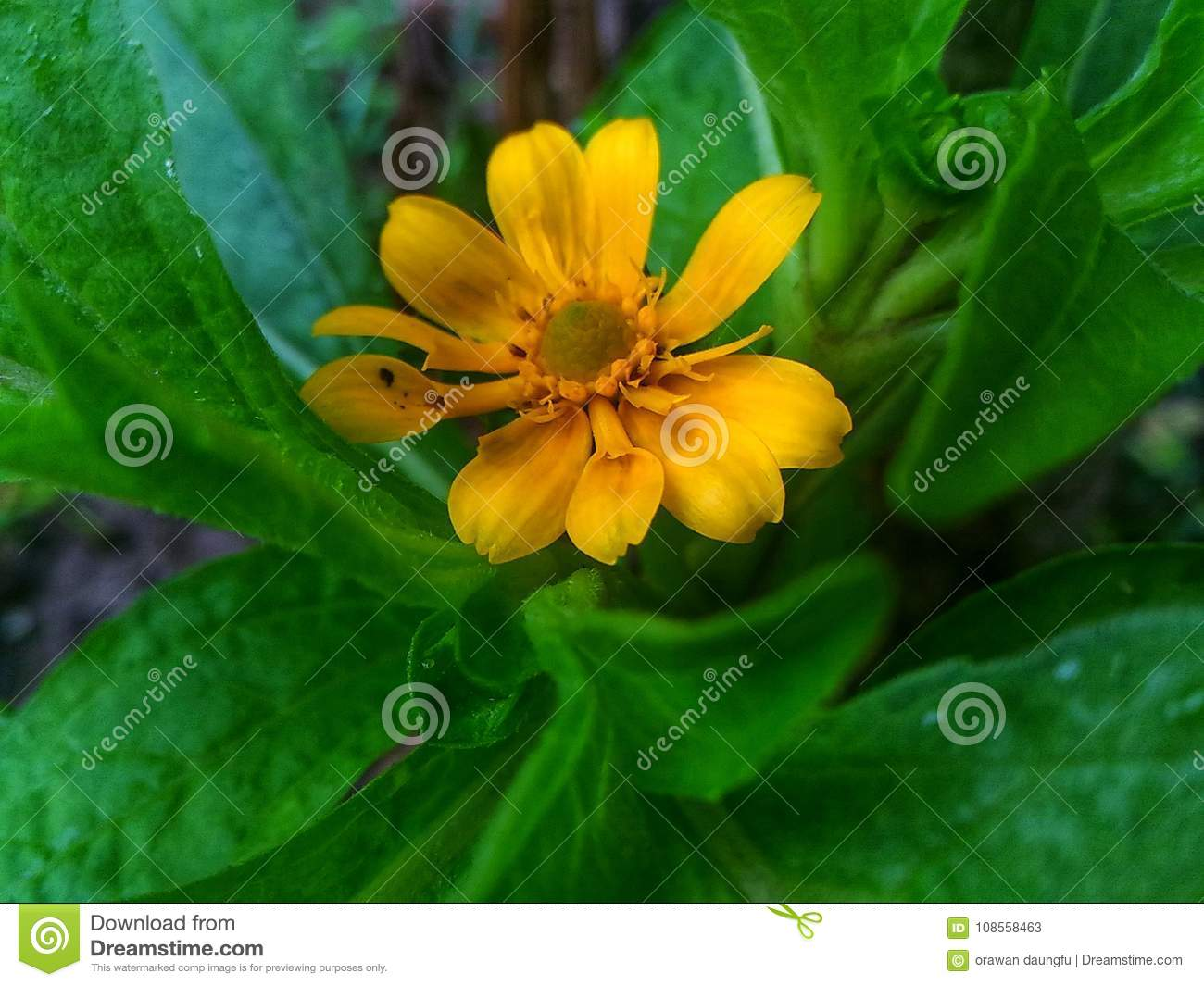 Yellow Flower Stock Image Image Of Anyone Have Flower 108558463