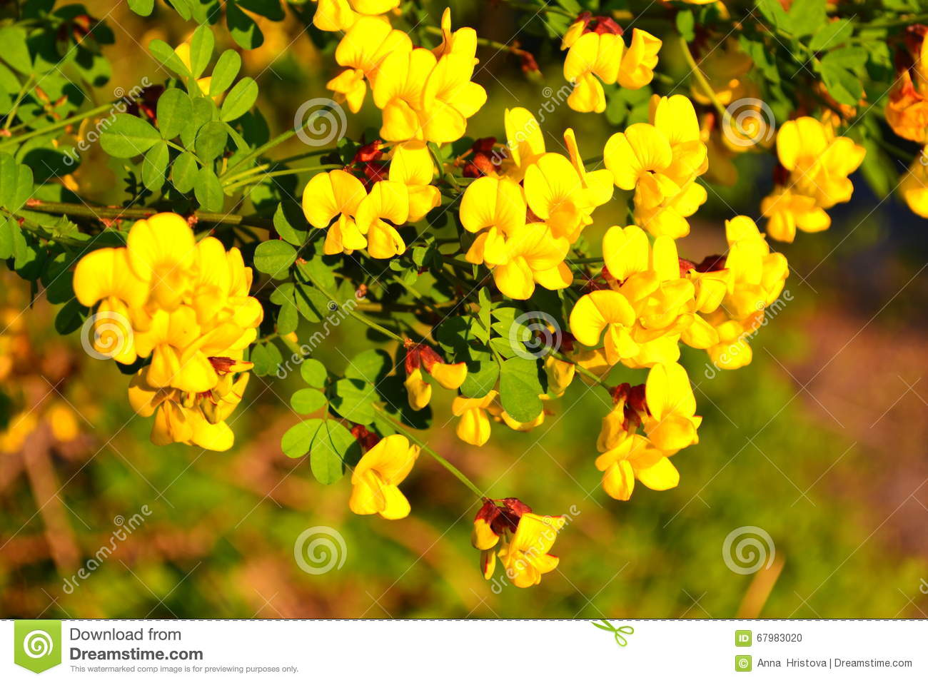 Yellow Flowered Acacia Stock Photo Image Of Acacia Yellow 67983020