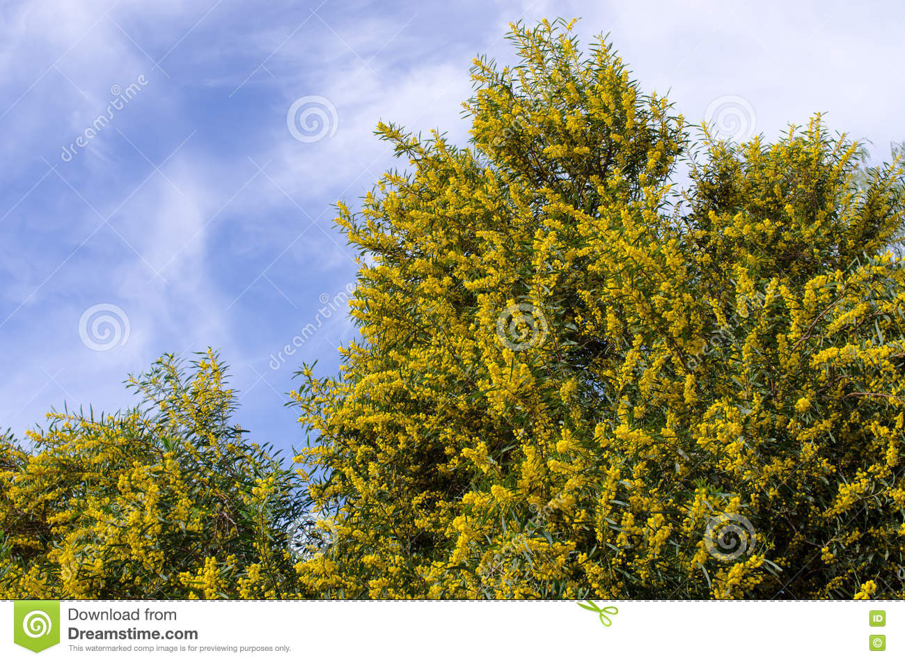 Yellow Flowered Tree Morocco Stock Image Image Of Beautiful Park