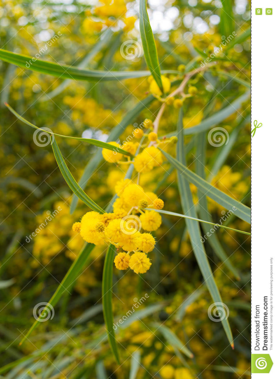 Yellow Flowered Tree Morocco Stock Image Image Of Outdoors