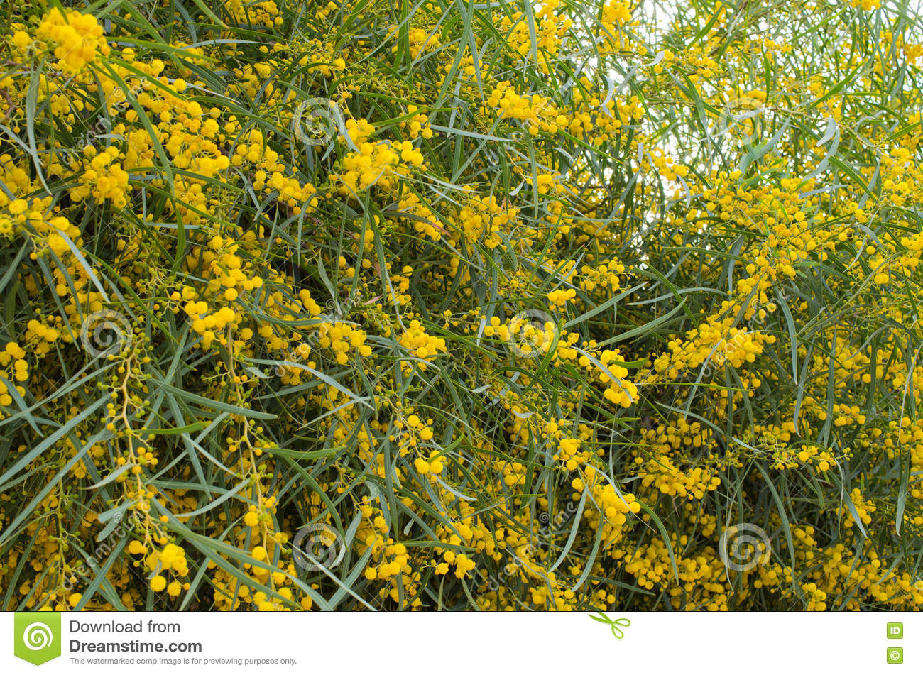 Yellow Flowered Tree Morocco Stock Photo Image Of Macro