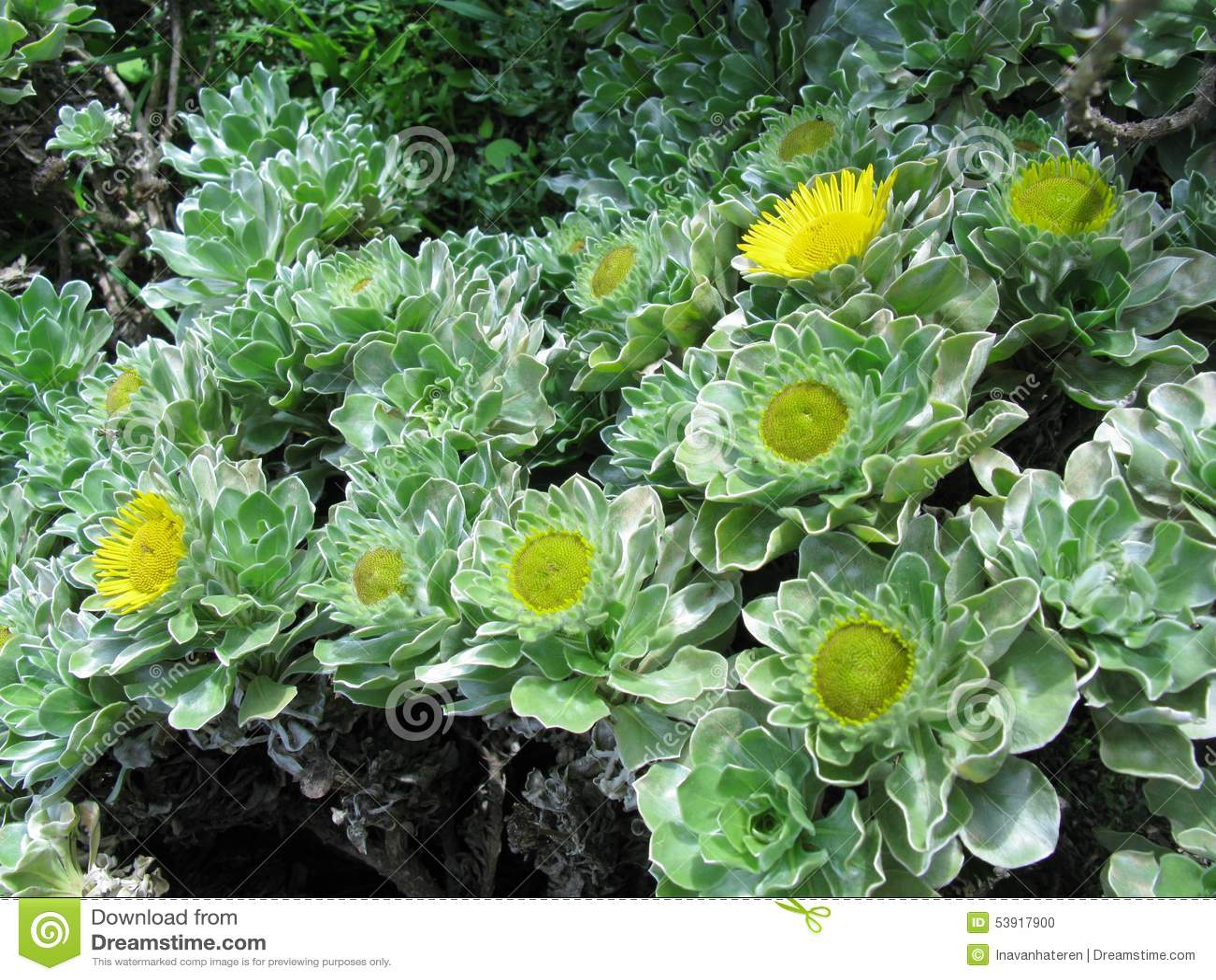 A yellow flowering bush stock photo image of canary 53917900 a yellow flowering bush mightylinksfo