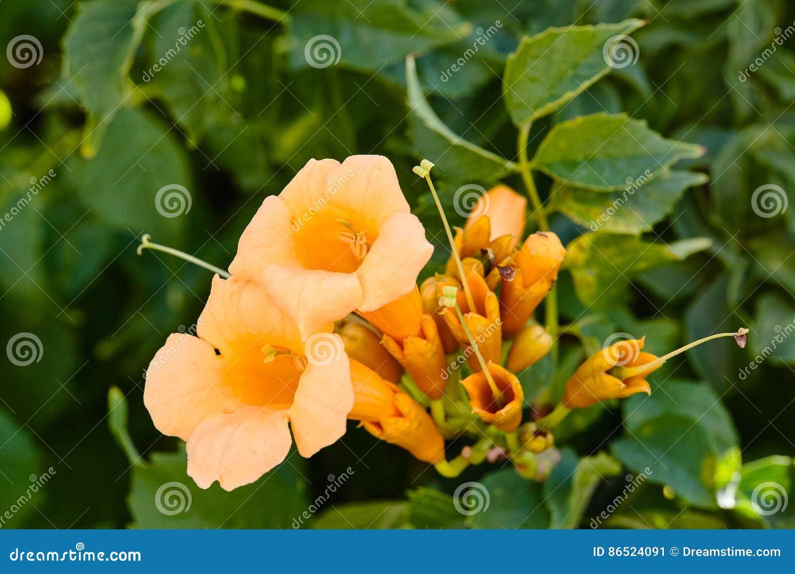 Yellow Flowering Campsis Radicans Or Trumpet Vine Spain Stock