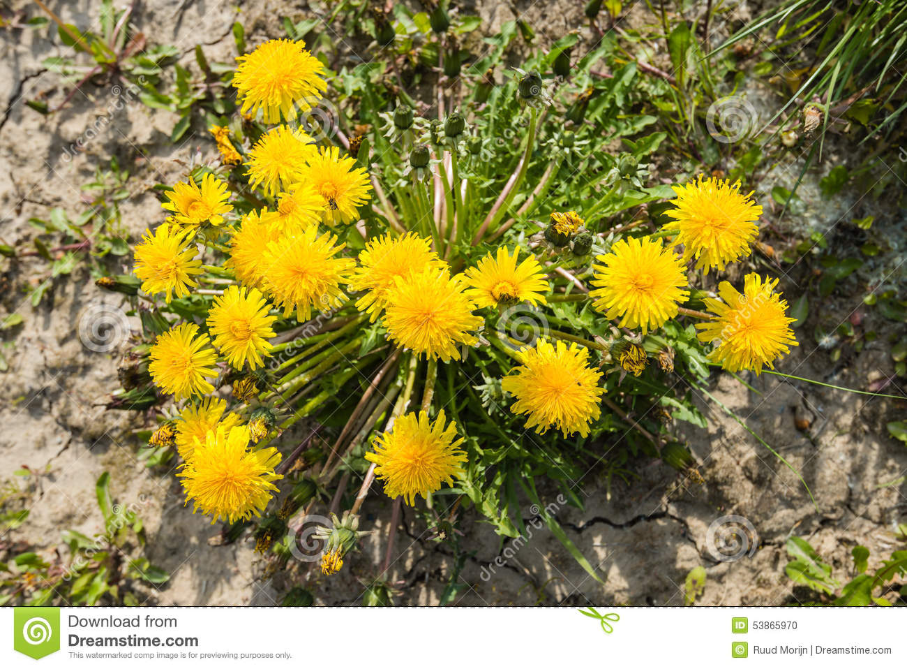 Yellow Flowering Common Dandelion Plants Seen From Above