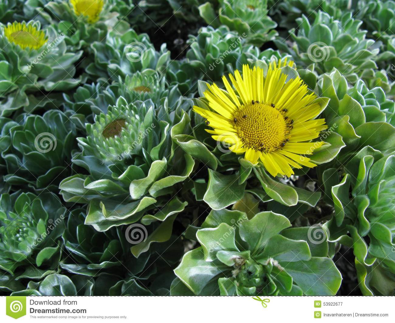 A yellow flowering evergreen bush stock image image of decorative a yellow flowering evergreen bush mightylinksfo