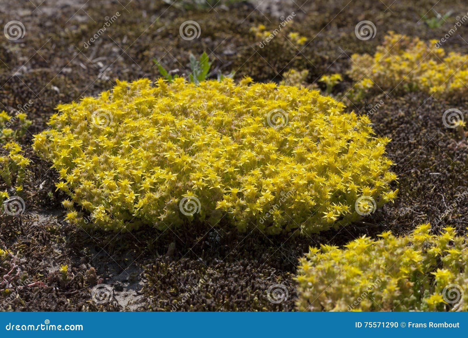 Yellow Flowering Sedum Acre Stock Photo Image Of Sedum Mossy