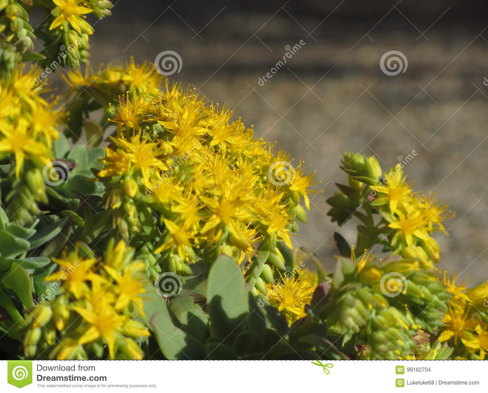 Yellow Flowering Sedum Palmeri Plant Succulent Plant With Yellow