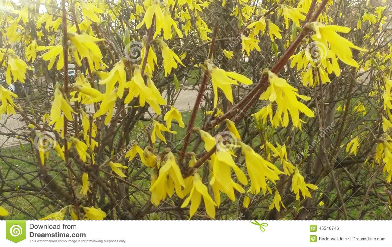 Yellow flowering shrubs in a city park in the spring stock footage yellow flowering shrubs in a city park in the spring stock footage video 45546746 dhlflorist Gallery