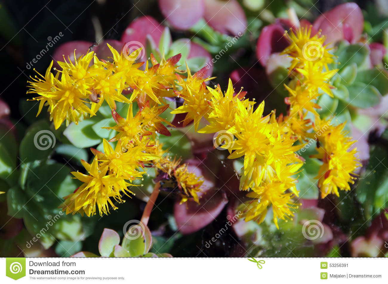 Yellow Flowering Succulent Plant Stock Image Image Of Bloom