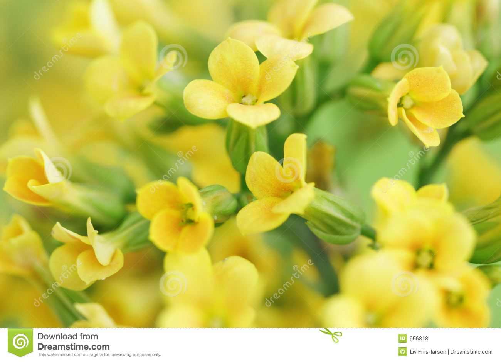 Yellow flowers stock photo image of macro fine nature 956818 mightylinksfo