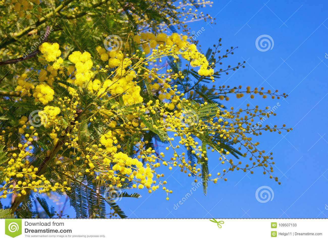 Springtime yellow flowers of acacia dealbata mimosa against blue yellow flowers of acacia dealbata mimosa against blue sky stock image image mightylinksfo
