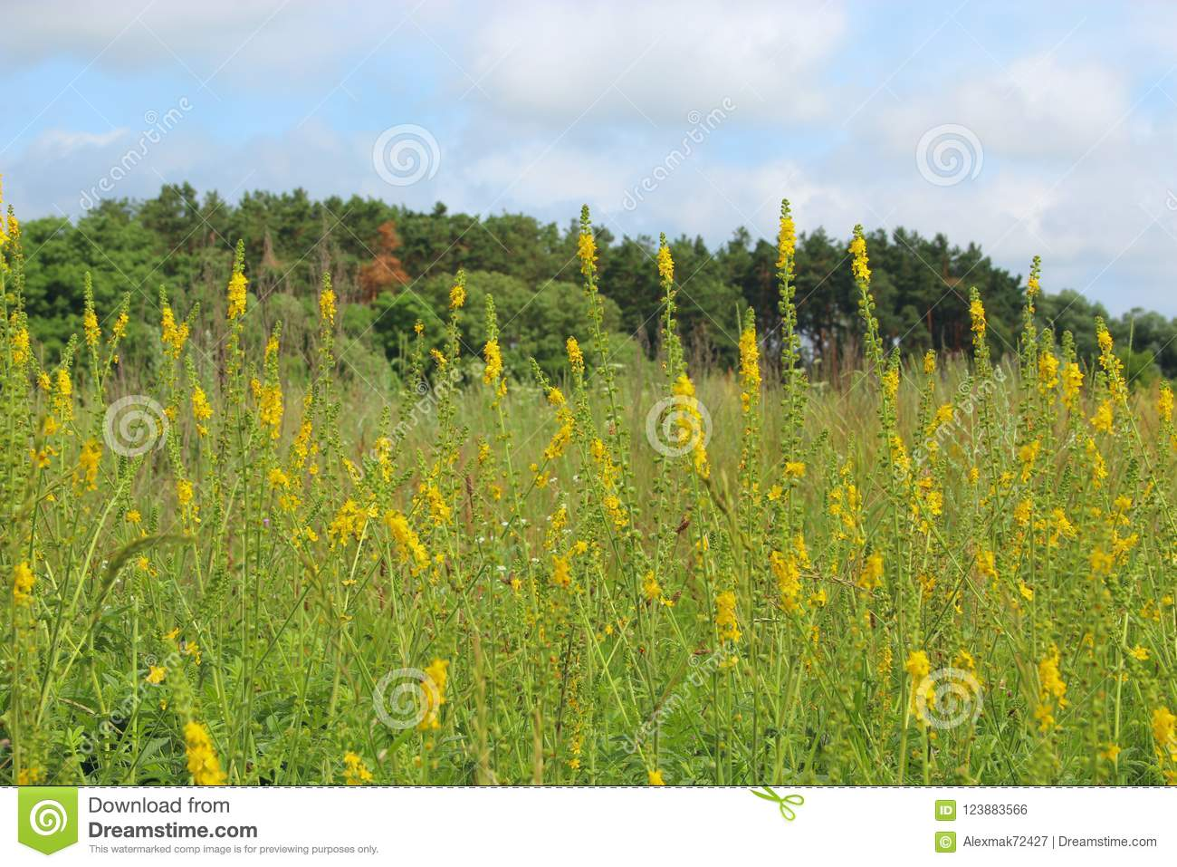 Yellow Flowers Of Agrimonia Eupatoria Blossoming In Field Medicinal