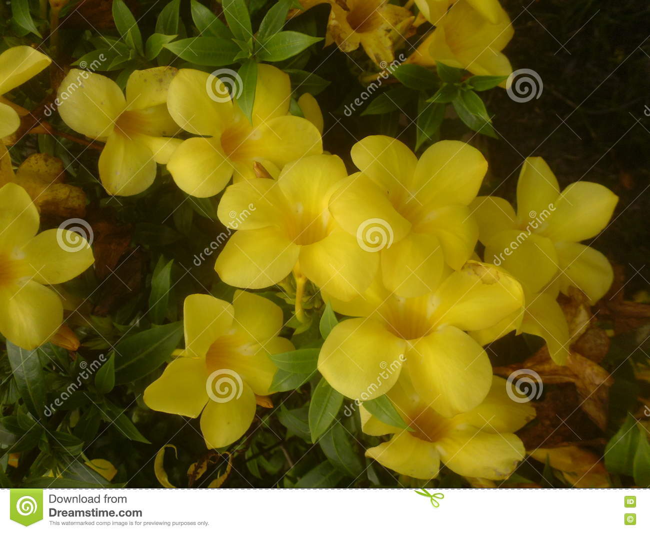 Yellow Flowers Stock Photo Image Of Rose Flower Green 80345140