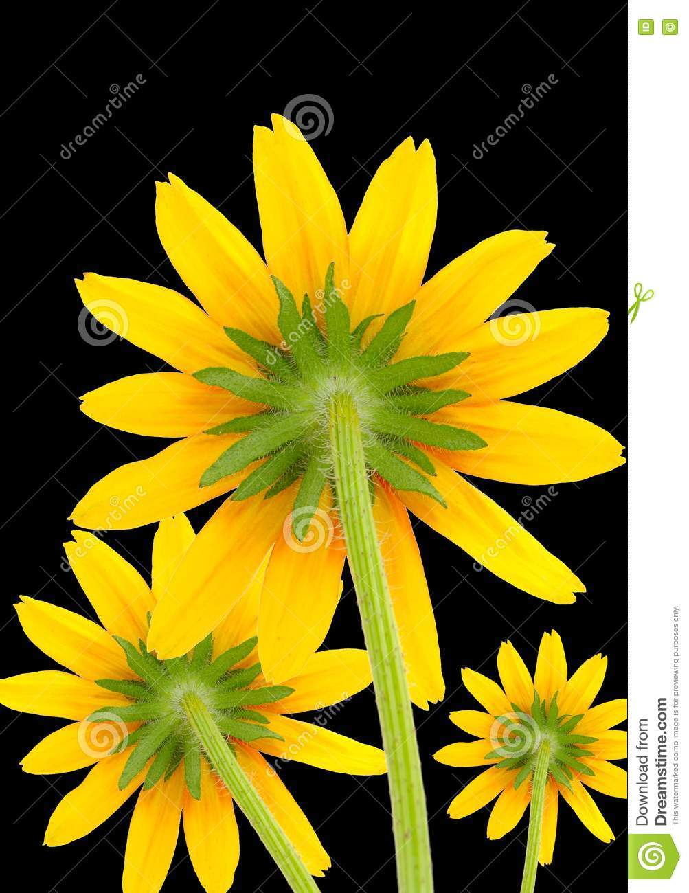 yellow-flowers-black-background-21883774 jpgYellow Flowers Black Background