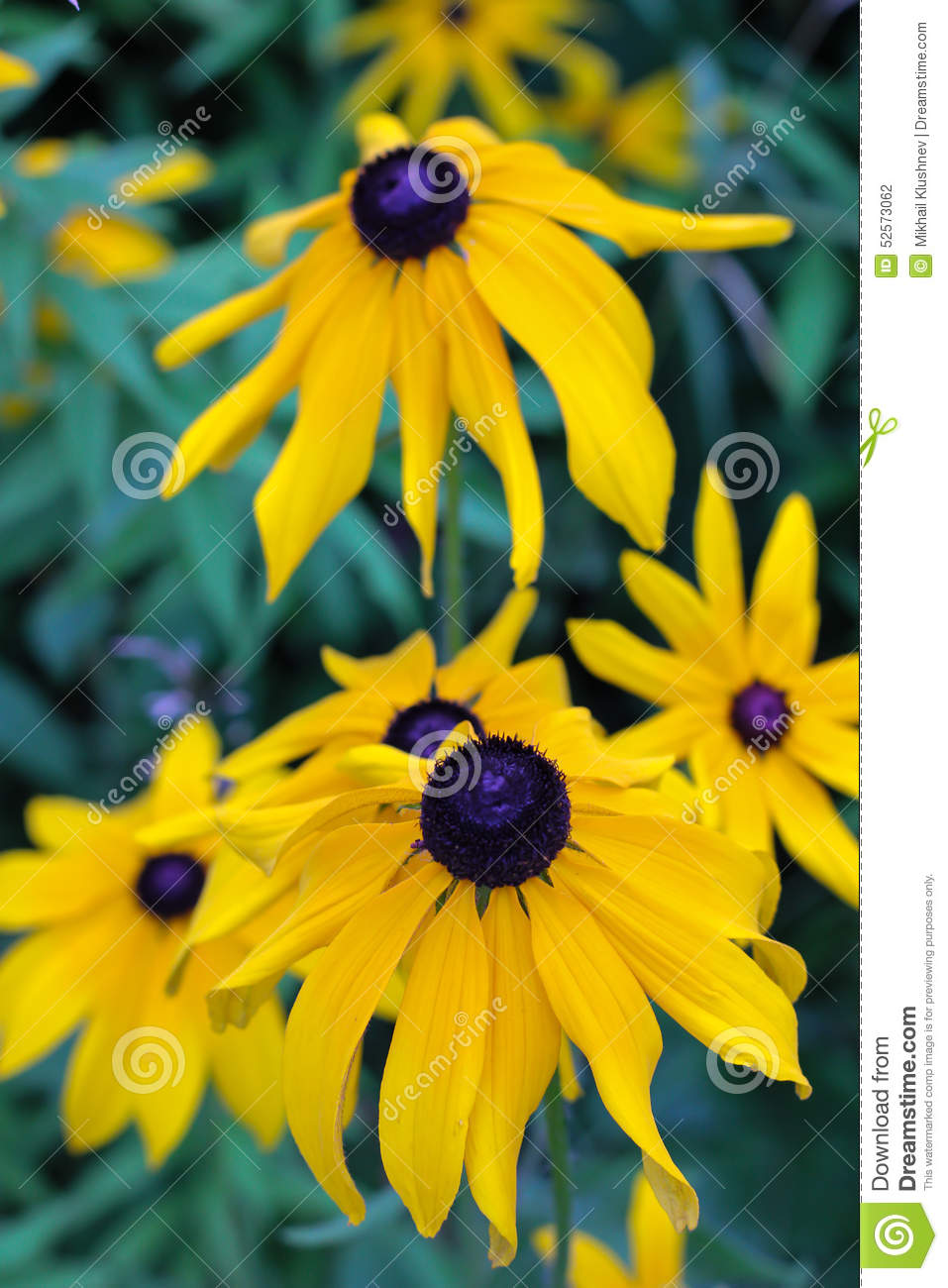 Yellow Flowers With A Black Heart Stock Photo Image Of Plant