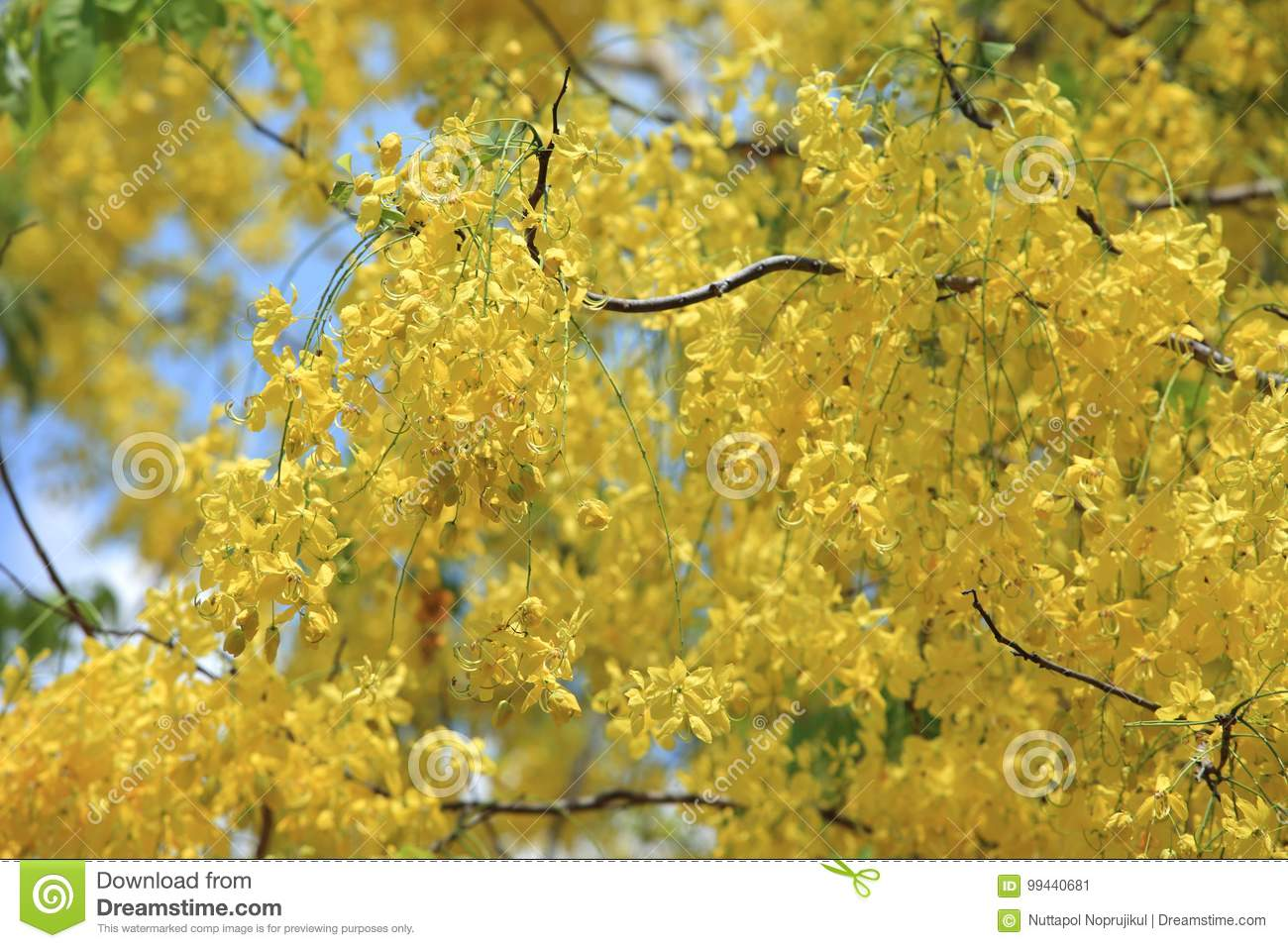 Yellow flowers in bloom summer golden shower tree stock image yellow flowers in bloom summer golden shower treessia fistula yellow flower golden shower tree with branch for beautiful background mightylinksfo