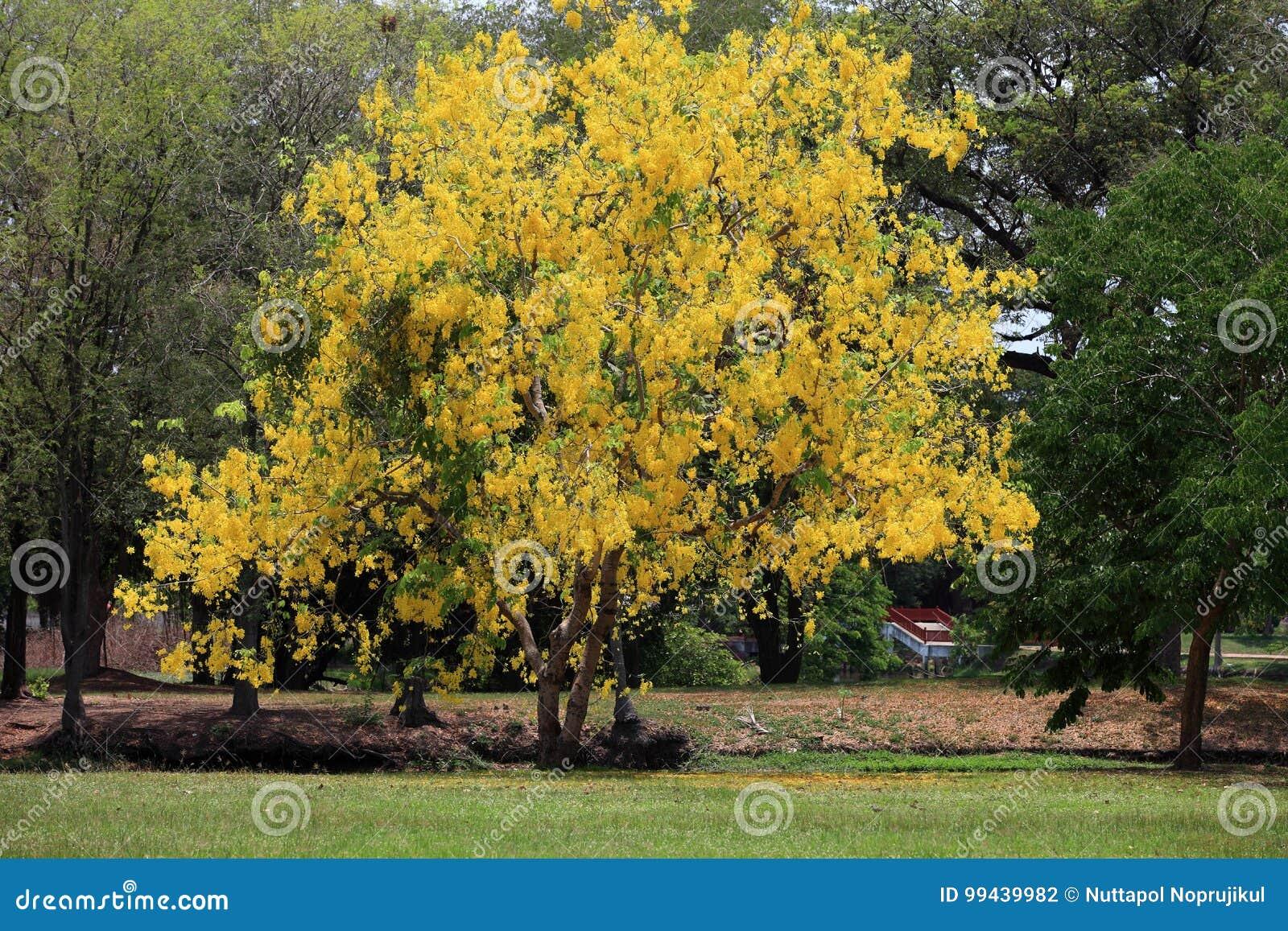 Yellow Flowers In Bloom Summer Golden Shower Tree Stock Photo