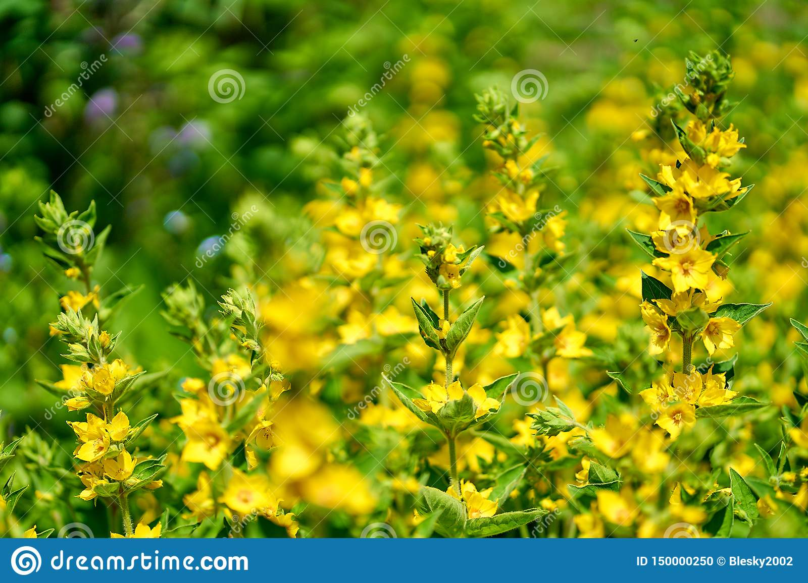 Yellow flowers in blossom, close up