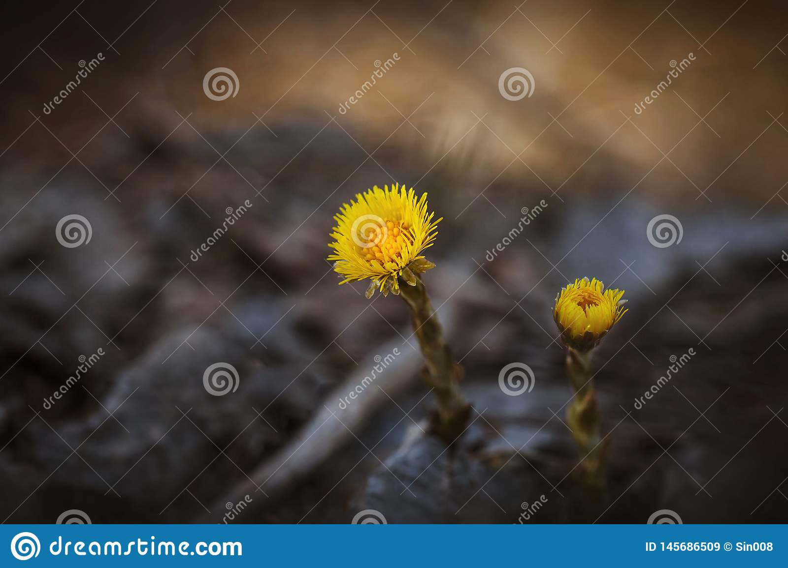 Yellow flowers on a blurred background close-up. Two flowers coltsfoot. Medicinal plant. The first spring flowers in the forest