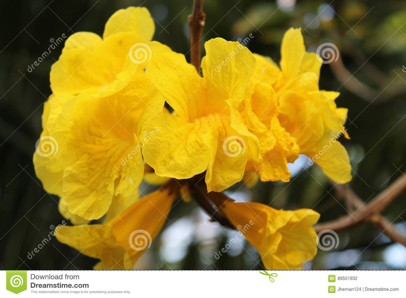 Yellow flowers stock photo image of miami flowering 89551932 bright yellow flowers dangling from a tree miami florida sunny day outdoors mightylinksfo