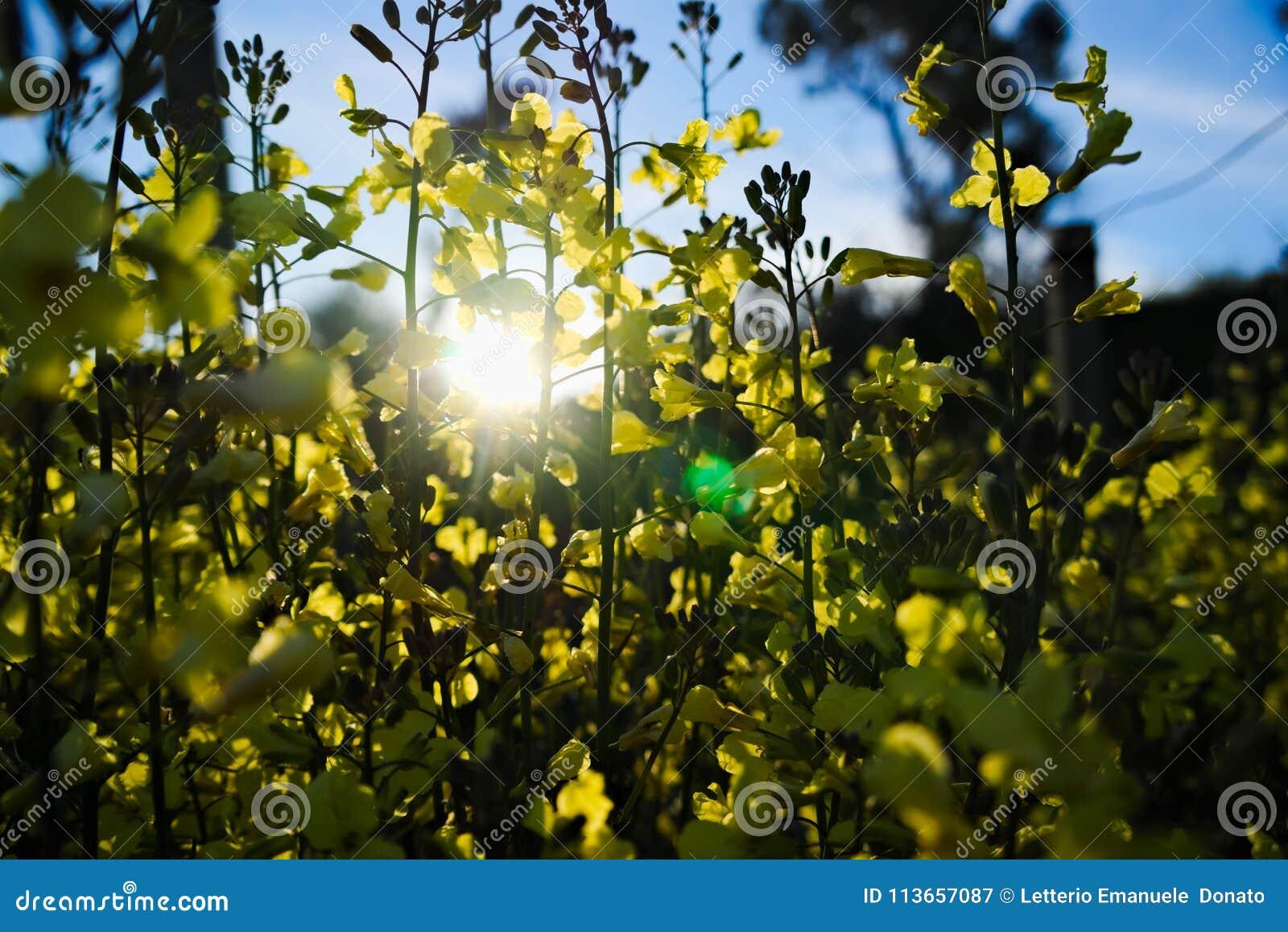 Yellow flowers of broccoli stock image image of background group yellow flowers of broccoli mightylinksfo