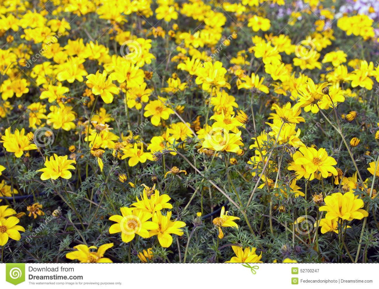Yellow flowers called bidens in spring stock image image of nature download yellow flowers called bidens in spring stock image image of nature marigolds mightylinksfo