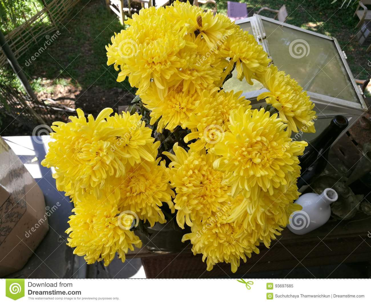Yellow flowers of chrysanthemum in garden on sunny day beautiful download yellow flowers of chrysanthemum in garden on sunny day beautiful blooming potted mums flower mightylinksfo