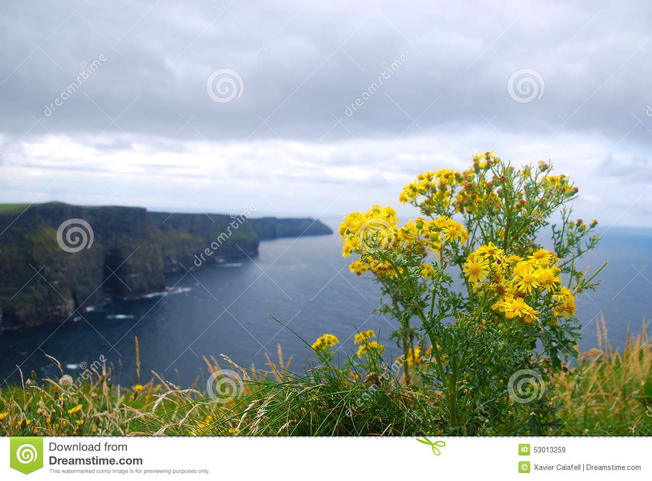 Yellow Flowers In Cliffs Of Moher Ireland Stock Image Image Of