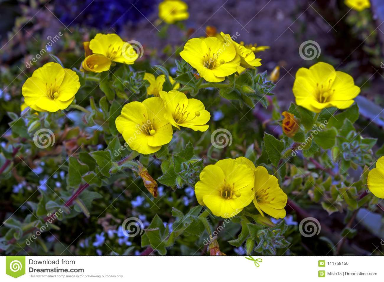 Yellow Flowers Close Up Stock Photo Image Of Green 111758150