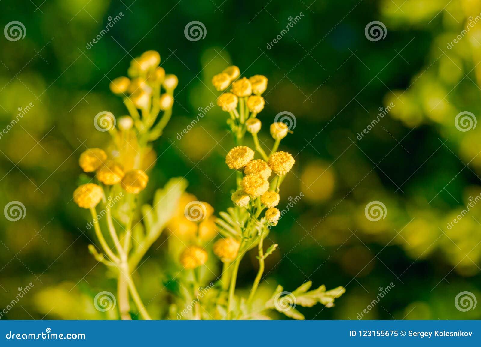 Yellow flowers of common tansy tanacetum vulgare stock image download yellow flowers of common tansy tanacetum vulgare stock image image of blossom mightylinksfo