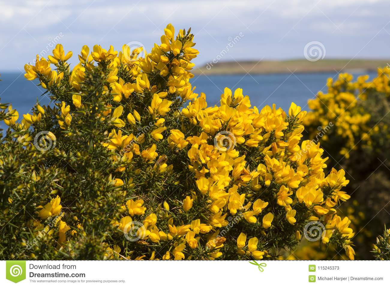 Yellow flowers on a common whin bush or gorse displaying their full download yellow flowers on a common whin bush or gorse displaying their full spring glory in mightylinksfo