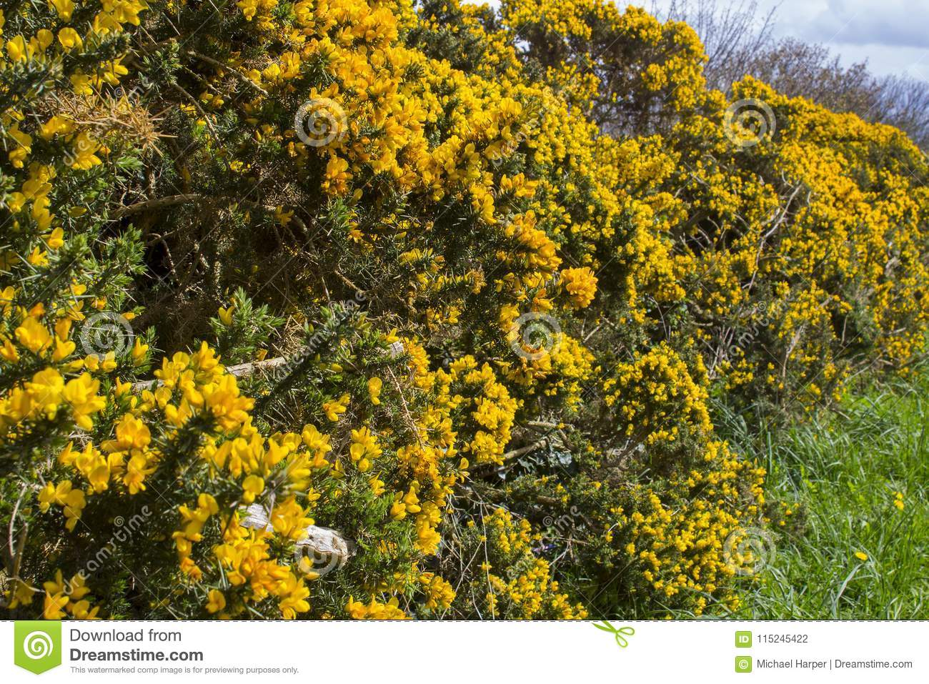 Yellow Flowers On A Common Whin Bush Or Gorse Displaying Their Full