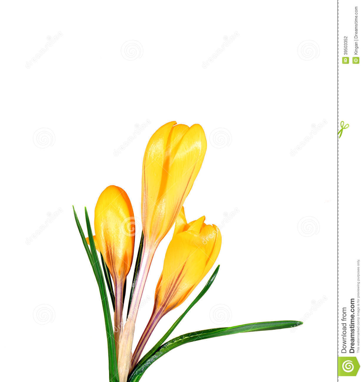 Yellow flowers of crocus isolated