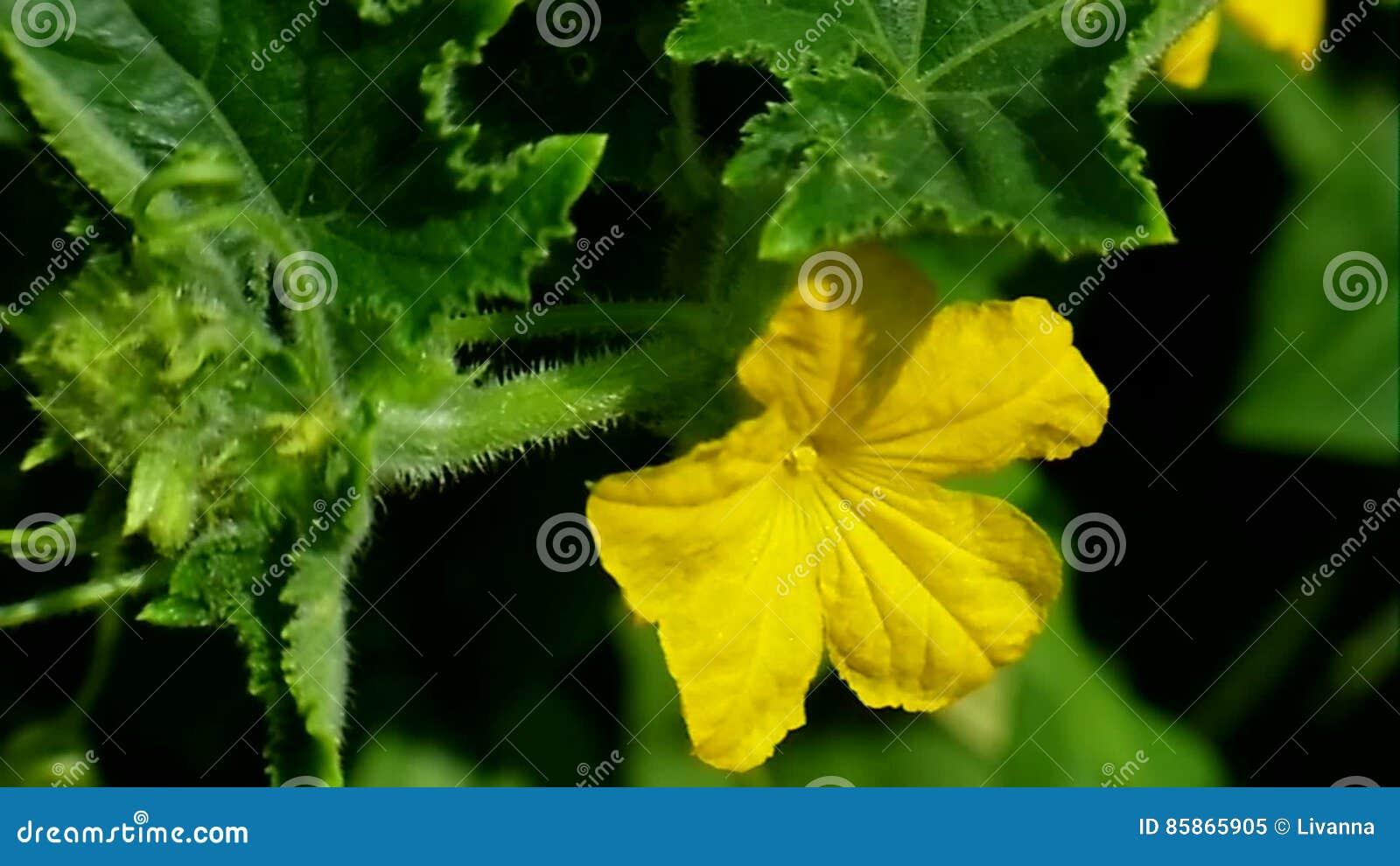 Yellow Flowers Cucumber Stock Video Image Of Season 85865905