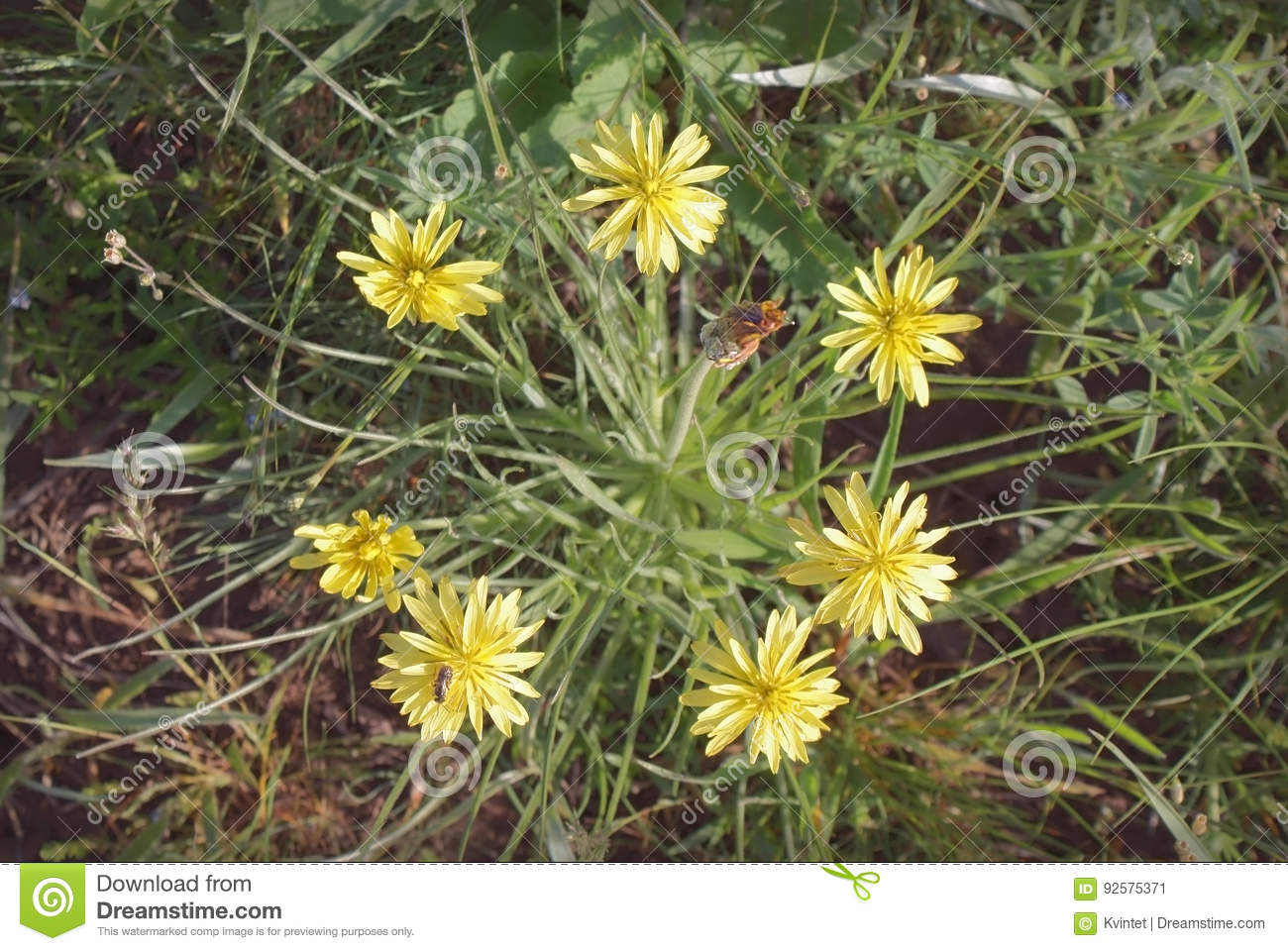 Yellow Flowers Of Dandelion In Wild Stock Image Image Of Colorful